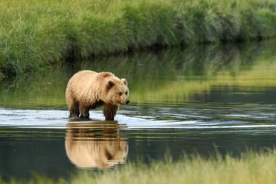 Brown Bear in lake in Alaska by John Rollins
