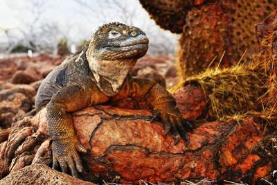 Reptile colorful Iguana in Galapagos Islands by John Rollins