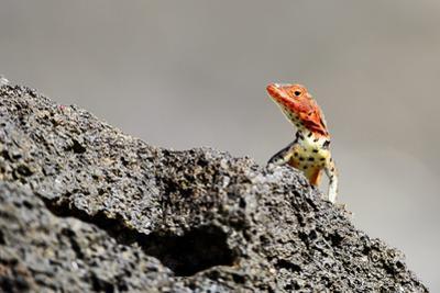 Reptile colorful Lizard in Galapagos Islands