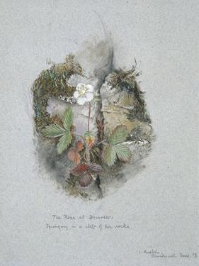 A Wild Strawberry Plant by John Ruskin