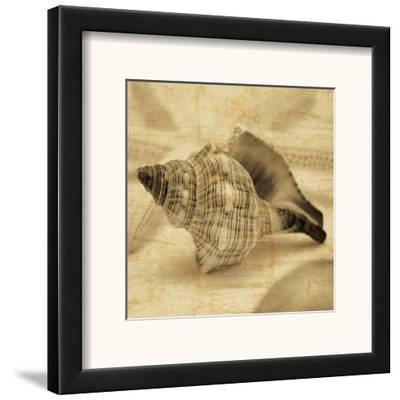 Conch by John Seba