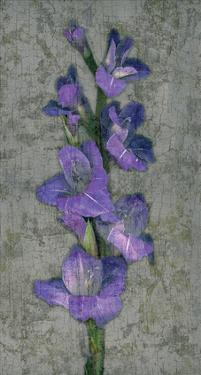 Purple Gladiola by John Seba