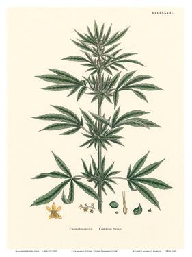 Cannabis Sativa - Common Hemp by John Sowerby