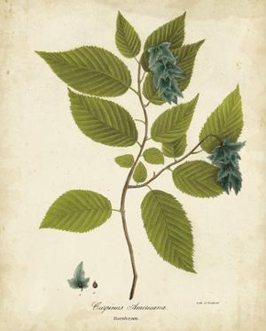Hornbeam Tree Foliage by John Torrey