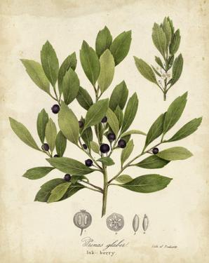 Ink-berry Tree Foliage by John Torrey