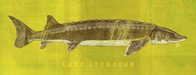 Lake Sturgeon by John W. Golden