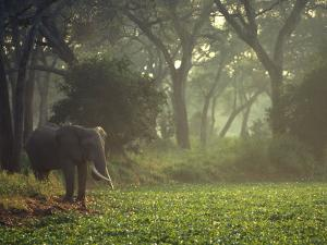 Elephant in the Early Morning Mist Feeding on Water Hyacinths, Mana Pools, Zimbabwe by John Warburton-lee