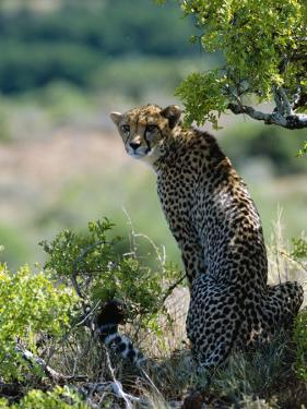Female Cheetah Rests in the Shade at Kwandwe Private Game Reserve by John Warburton-lee