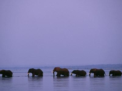 Herd of Elephants Cross the Zambezi River in Line