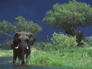 Male Elephant under Stormy Skies on Bank of Zambezi River, Zimbabwe by John Warburton-lee