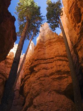 Utah, Bryce Canyon National Park, Douglas Fir Trees in Slot Canyon, USA by John Warburton-lee
