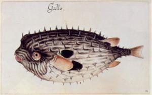 A Burrfish by John White