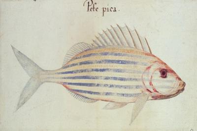 Blue Striped Grunt Fish by John White