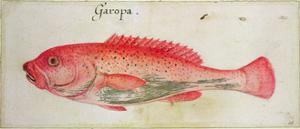 Garopa by John White