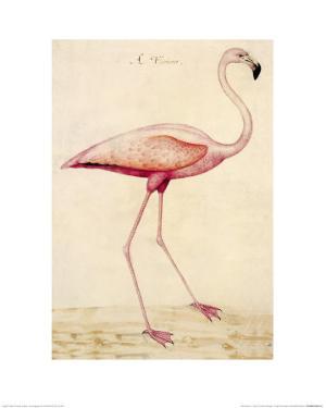Greater Flamingo by John White