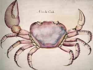 Land Crab by John White
