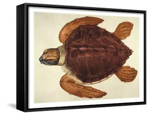 Loggerhead Turtle, 1585 by John White