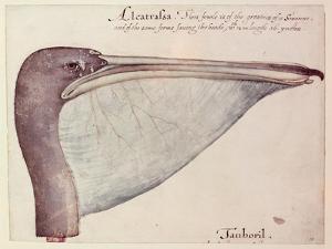 Pelican, C.1590 by John White