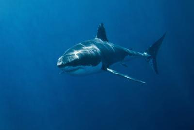 Great White Shark by John White Photos