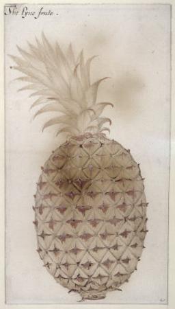 Pineapple by John White