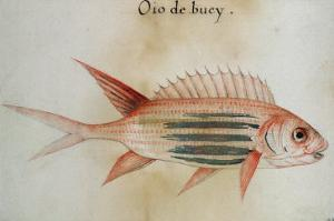 Squirrel Fish or Soldier Fish by John White