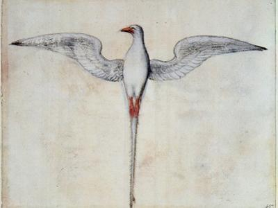 Tropic Bird by John White