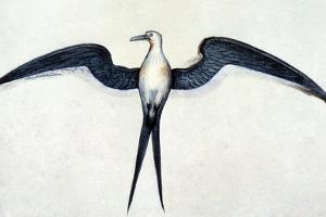 White: Frigate Bird by John White