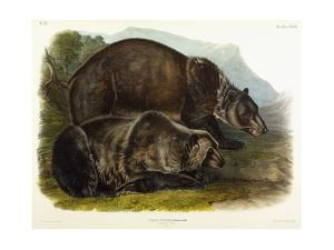 Male Grizzly Bear, 1848 by John Woodhouse Audubon