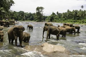 Elephants Bathing in the River at the Pinnewala Elephant Orphanage, Sri Lanka, Asia by John Woodworth
