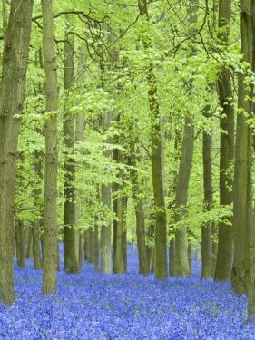 Spring Bluebells in Beech Woodland, Dockey Woods, Buckinghamshire by John Woodworth