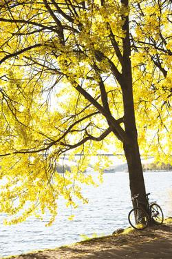 Bicycle under Tree by Lake by Johner Images