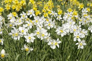 Daffodils (Narcissus Sp.) by Johnny Greig