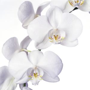 Orchid Flowers by Johnny Greig