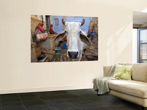 Cow on Street Inside Fort Walls by Johnny Haglund