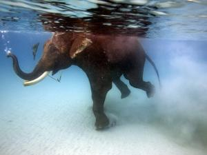 Elephant 'Rajes' Taking Swim in Sea by Johnny Haglund