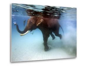 Elephant 'Rajes' Taking Swim in Sea by Johnny Haglund
