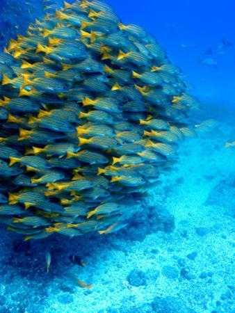 School of Colourful Fish in Blue Waters Off Isla De Cano