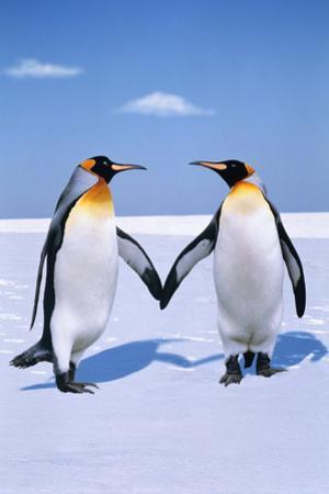 King Penguins (Aptenodytes Patagonicus) (Digital Composite)