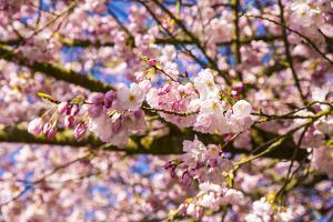 Bremerton, Washington State. Bright pink cherry blossoms by Jolly Sienda