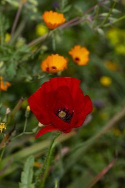 Fez, Morocco. Red poppy and orange flowers in a field by Jolly Sienda
