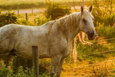 Lancaster County, Pennsylvania. Dappled horse catches mane on barbed wire