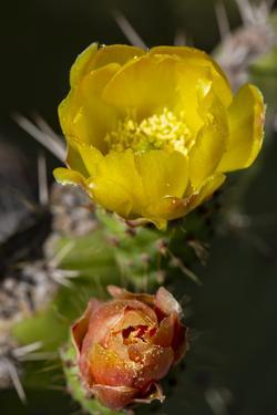 Marrakech, Morocco. Flowering yellow and orange cactus by Jolly Sienda