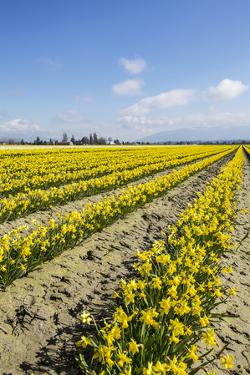 Mount Vernon, Skagit Valley, Washington State. Daffodil field by Jolly Sienda