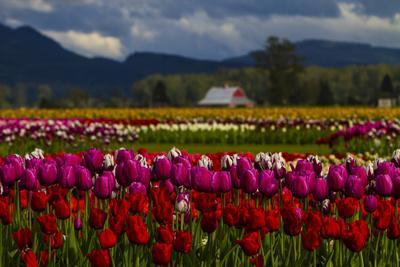 Mount Vernon, Washington State, Field of colored tulips with a bard