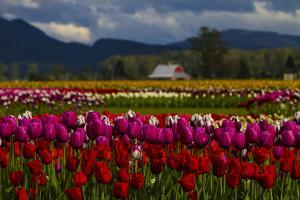 Mount Vernon, Washington State, Field of colored tulips with a bard by Jolly Sienda