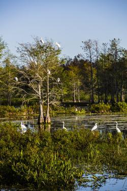 Palm Beach, Florida. Dozen of Egrets in a tree and wetlands by Jolly Sienda
