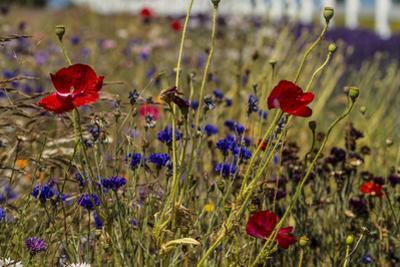Port Angeles, Washington State. Meadow of wildflowers. by Jolly Sienda