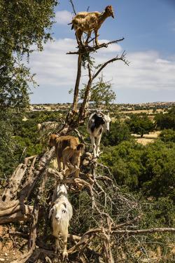 Tamri, Morocco. Cloven-hoofed goats, Argon tree by Jolly Sienda