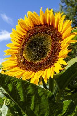 USA, Washington State, Bremerton. Bee on a large sunflower. by Jolly Sienda