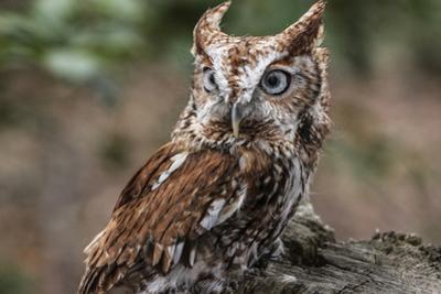 Vienna, Virginia. Eastern Screech Owl with steel grey eyes stands on a tree stump by Jolly Sienda